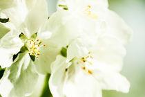 Cherry flowers by Kristiina  Hillerström
