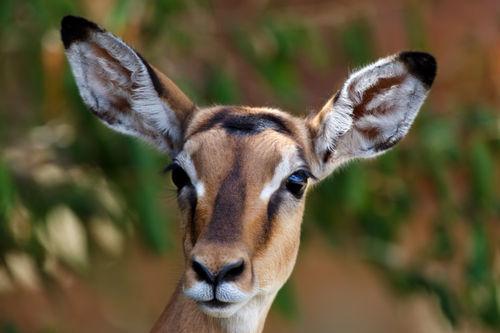 Mara-impala