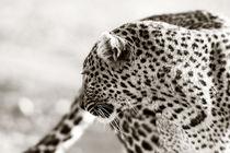 Leopard Olive, Masai Mara, Kenya von Maggy Meyer