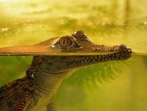 Young Alligator von Bjoern Buxbaum-Conradi