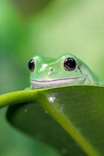 White's Tree Frog by Paul Slebodnick