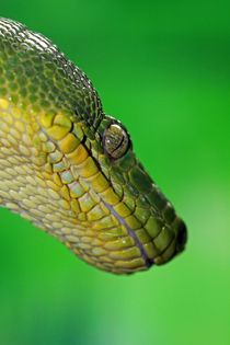 Emerald Tree Boa by Paul Slebodnick