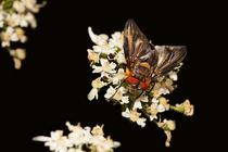 Raupenfliege, Phasia hemiptera, Phasiinae von duesseldorf-foto