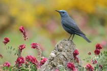 Blue Rock Thrush von bia-birdimagency