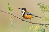 Eastern Spinebill von bia-birdimagency