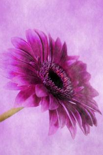 Gerbera pink von Christine Bässler