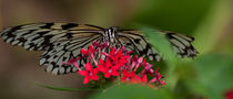 Wood Nymph Butterfly by Daniel Fong