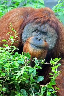 Sumatran Orangutan  von Paul Slebodnick