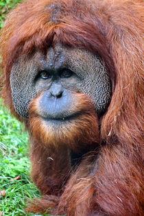 Sumatran Orangutan by Paul Slebodnick