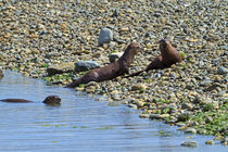 Otters on the Beach at Sooke by Louise Heusinkveld