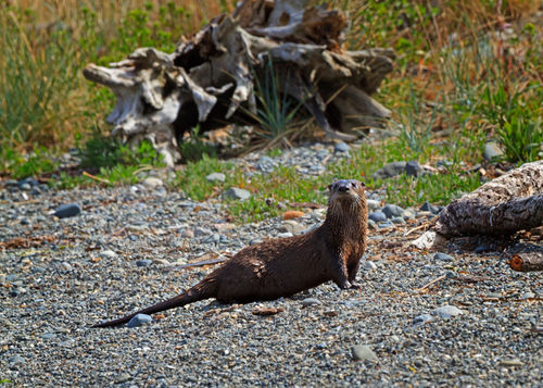 Otters0095