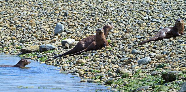 Otters0097