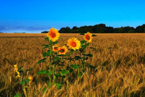 Sunflowers-in-barley0242