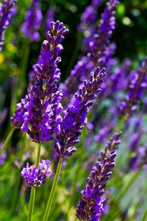Summer Lavender von David Pyatt
