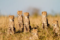 6 Cheetah cubs, Masai Mara, Kenya by Maggy Meyer