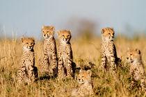 6 Cheetah cubs, Masai Mara, Kenya von Maggy Meyer