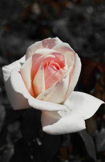 Pink rose von Lina Shidlovskaya