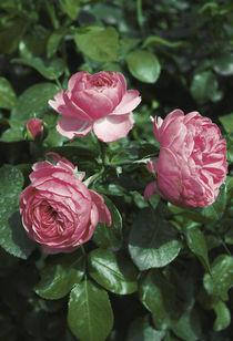 Pink roses by Lina Shidlovskaya