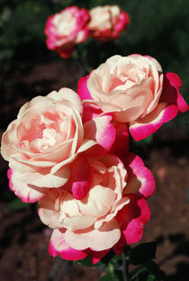 Gloria dei rose von Lina Shidlovskaya