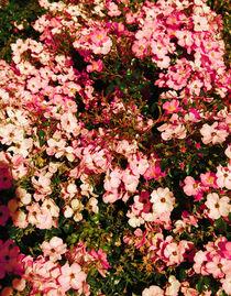 Pink roses von Lina Shidlovskaya