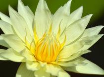Seerose-nymphaeaceae-gelb