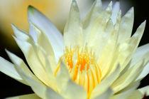 Seerose-nymphaeaceae-gelb-1