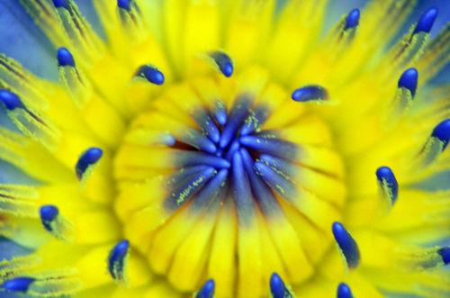 Seerose-nymphaeaceae-gelb-blau