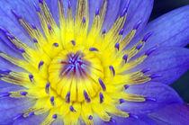 Seerose-nymphaeaceae-gelb-blau-1