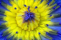 Seerose-nymphaeaceae-gelb-blau-4