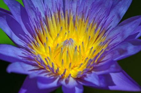 Seerose-nymphaeaceae-lila-gelb