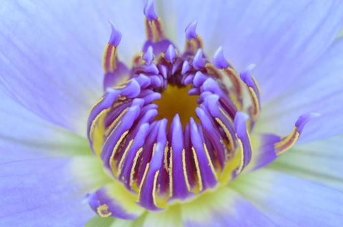 Seerose-nymphaeaceae-lila-gelb-2