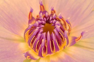 Seerose-nymphaeaceae-lila-gelb-3
