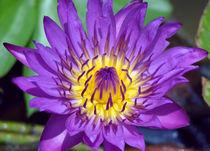 Seerose-nymphaeaceae-lila-gelb-5