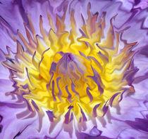 Seerose-nymphaeaceae-lila-gelb-7-bearbeitet-1