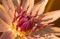 Seerose Nymphaeaceae von Thomas Brandt