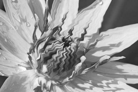 Seerose-nymphaeaceae-rosa-bearbeitet-3