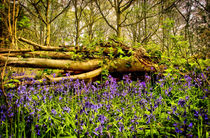 Bluebellstree