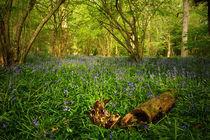 Bluebell Wood 2 von Simon Gladwin