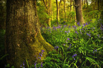 Bluebell Wood 1 by Simon Gladwin