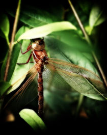 Resting Dragonfly by Simon Gladwin