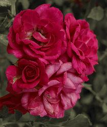 Dying pink roses by Lina Shidlovskaya