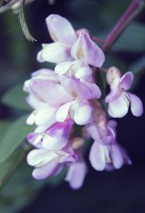 Robinia (pseudoacacia) von Lina Shidlovskaya