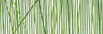 Bambus Stangen - Bamboo von Tobias Pfau