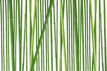 Bamboo - Bambus von Tobias Pfau