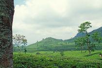 Tee Anbau - Asien von Tobias Pfau