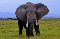 Elephant in the Wild von Pravine Chester