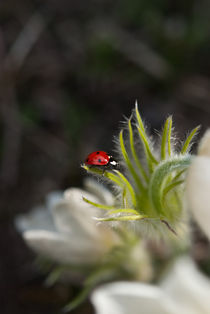 Ladybug by Silvia Dinu