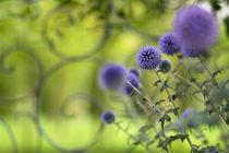Kugeldisteln vor Gartentor  von Ursula Pechloff