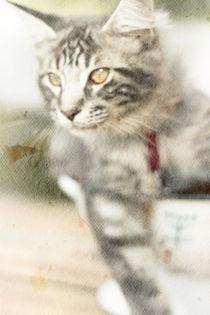 Maine Coon kitten 5 by Kristiina  Hillerström