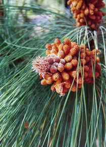 Canary island pine cones by Lina Shidlovskaya